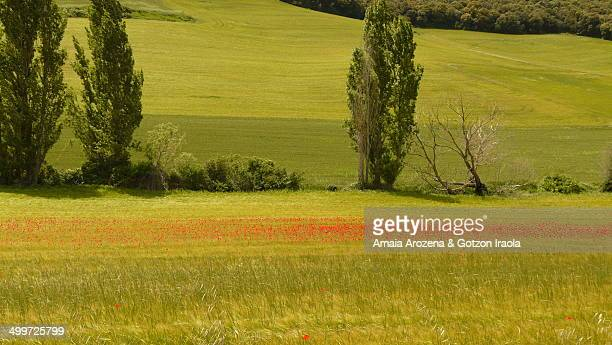 Wheat field and poppies