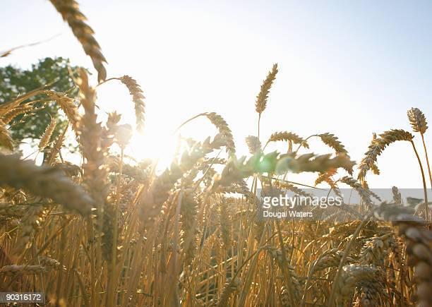 Wheat field close up.