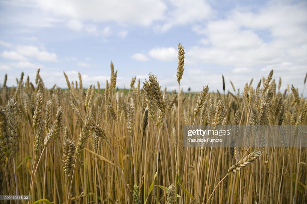 Wheat field, close-up : Stock Photo