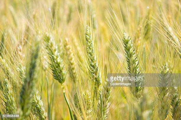 Wheat field in day time