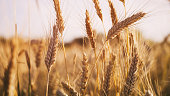 wheat field in summer sunset light, vintage toned photo