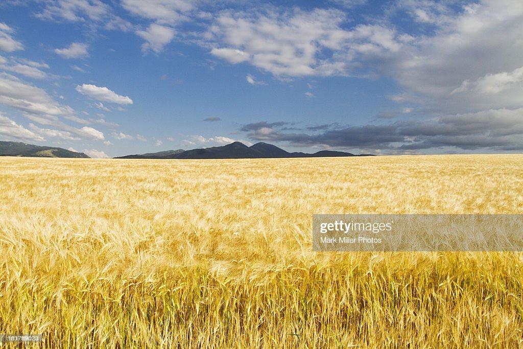 Wheat Field in the Rockies