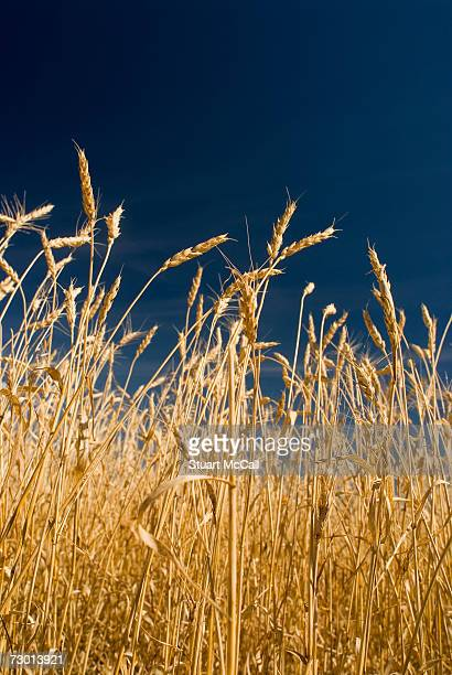Wheat field, low angle view