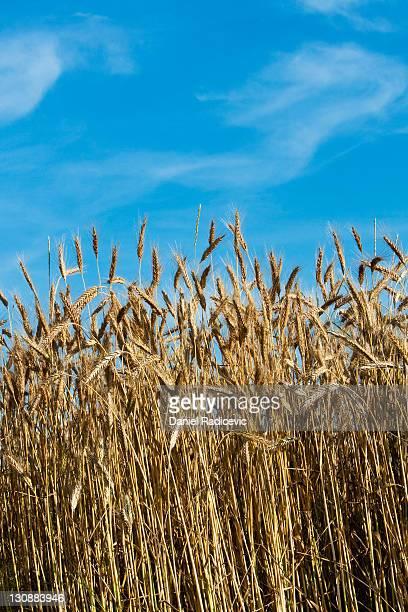 Wheat field (Triticum)