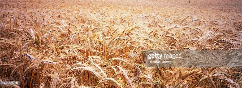 Wheat field. : Stock Photo