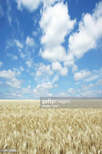 XXXL wheat field