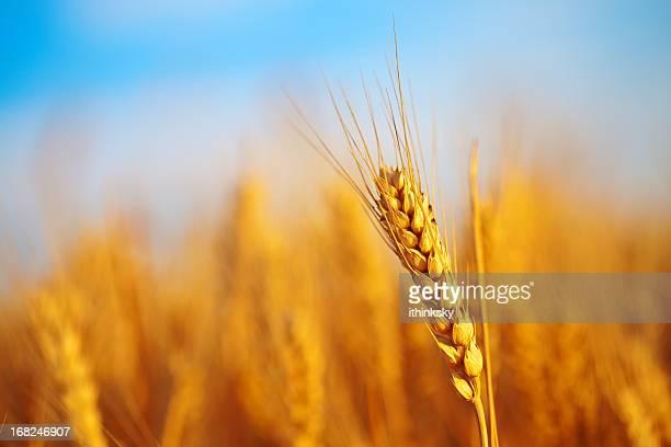 Wheat campo di