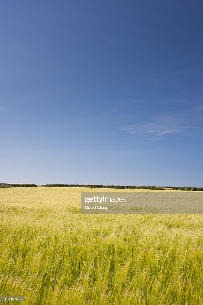 Wheat field starting to turn golden sways in the summer wind in Cornwall, England, United Kingdom, UK, Europe, June 2009 : Stock Photo