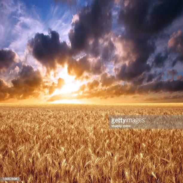 XXXL 小麦のフィールドの夕日