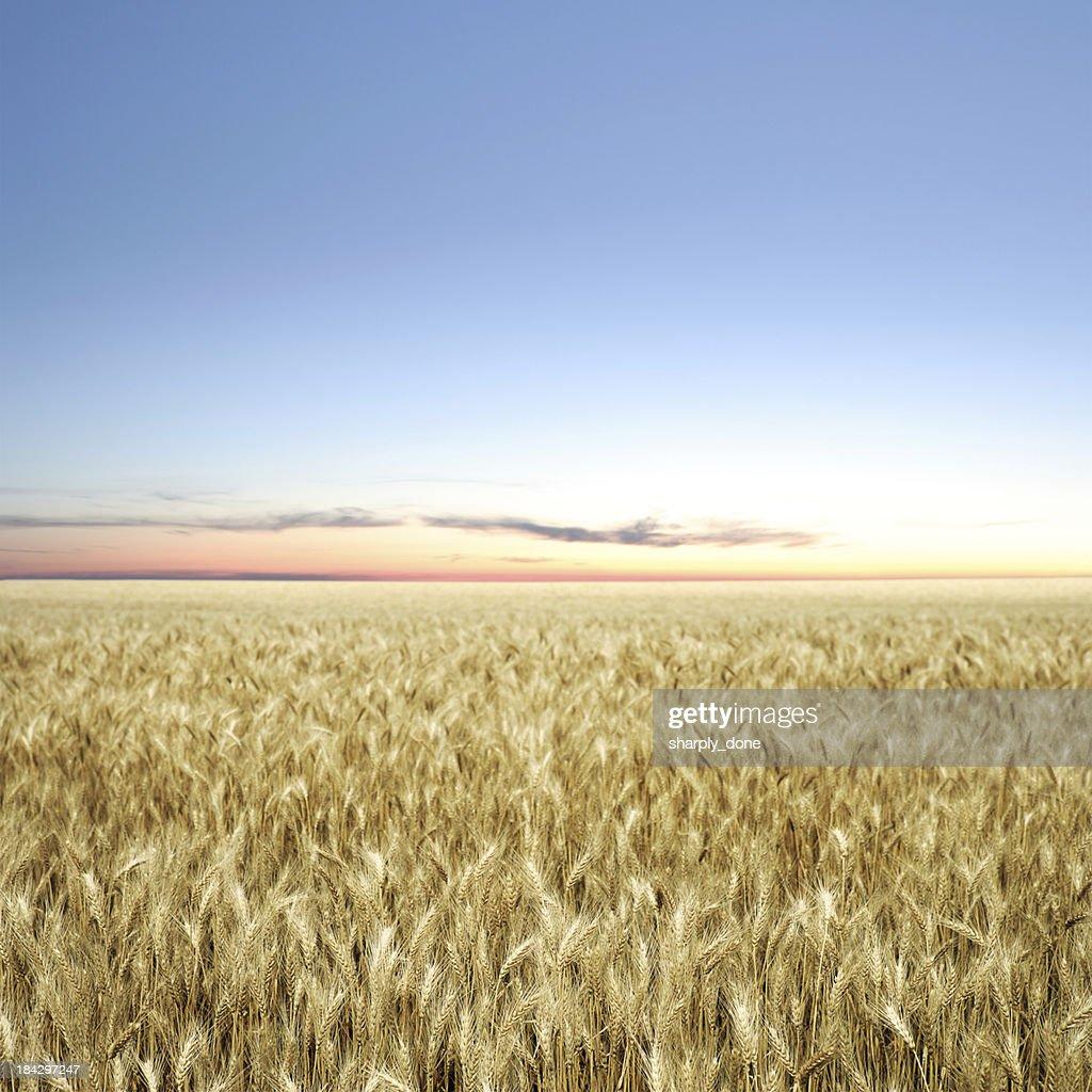 XXXL wheat field twilight