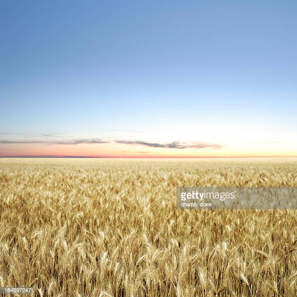 XXXL wheat field twilight