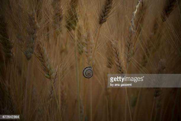 wheat field with a snail