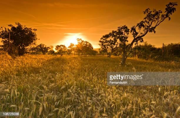 Avec des arbres et champ de blé au coucher du soleil