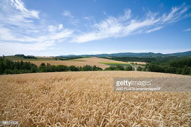 Wheat fields and blue sky. Biei, Hokkaido Prefecture, Japan