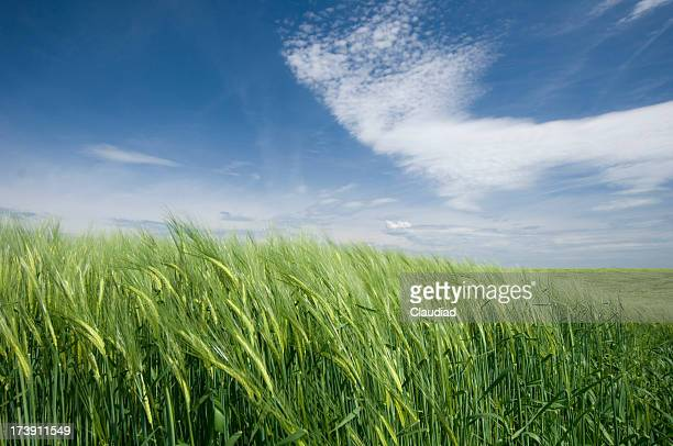 Wheat fields and sky