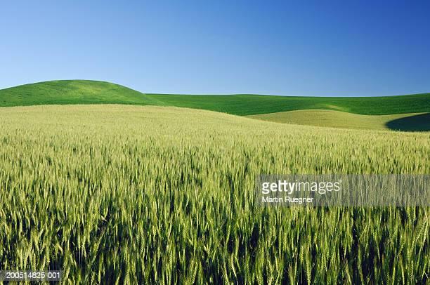 Wheat fields in spring under blue sky, landscape