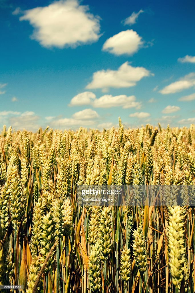 Wheat Fields : Stock Photo