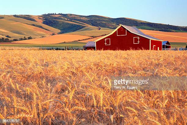 Wheat Fields Ready for Harvest