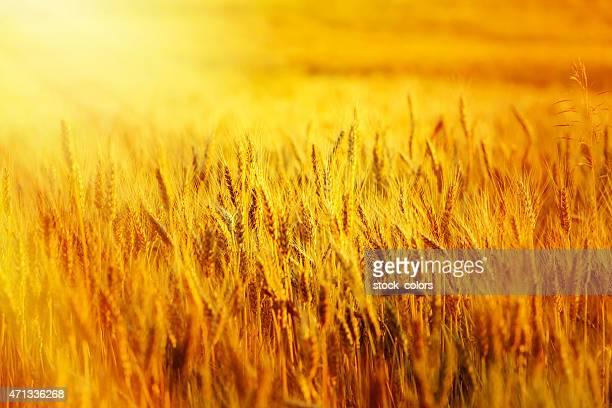 Rempli de blé au coucher du soleil