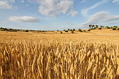 Wheat fields in the evening