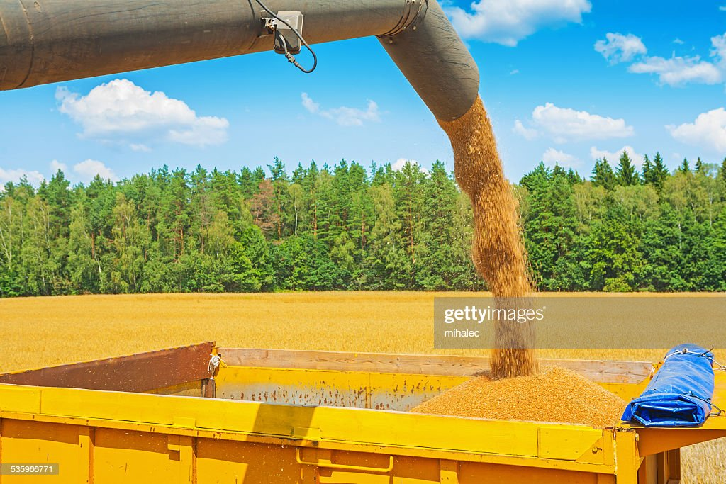 wheat grains pouring from pipe of combine harvester on field : Stock Photo