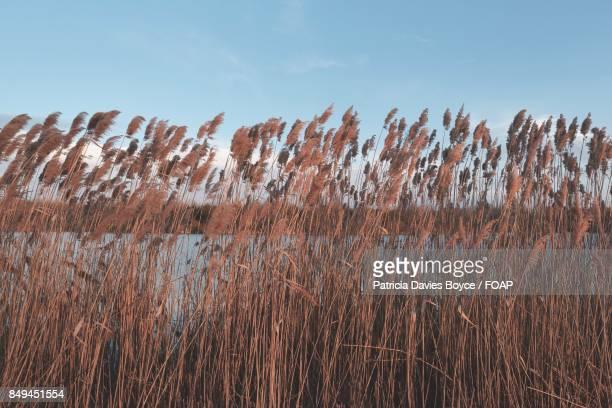 Wheat grass at the lake