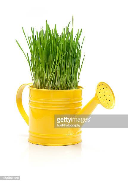 Wheat grass in watering can