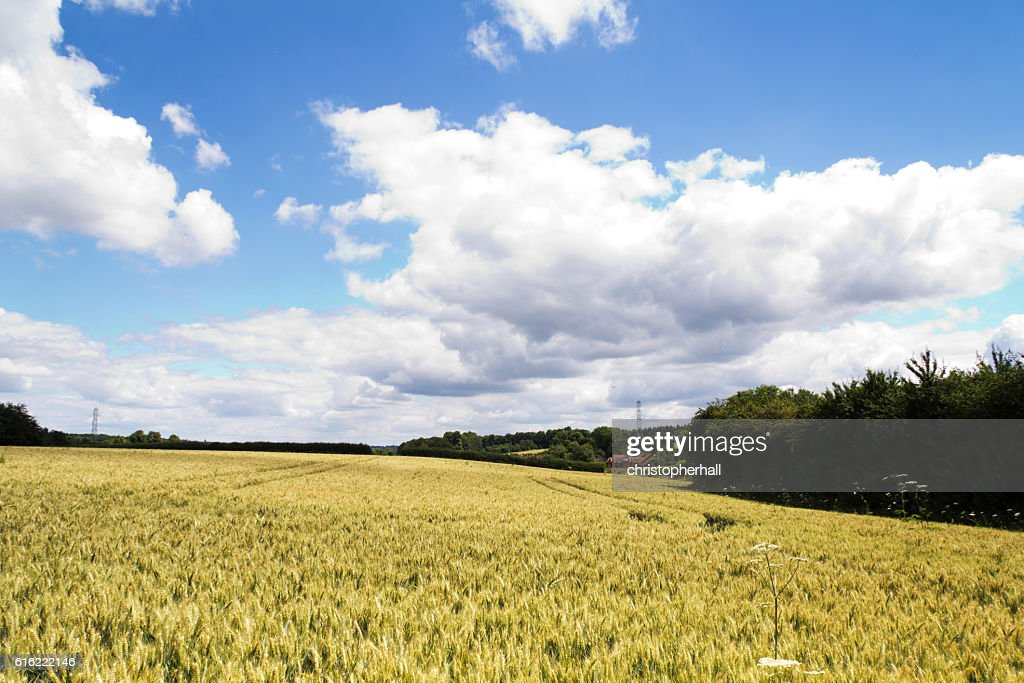 Wheat growing in a field in the Chilterns : Bildbanksbilder