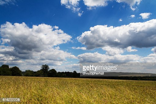 Wheat growing in a field in the Chilterns : Stockfoto