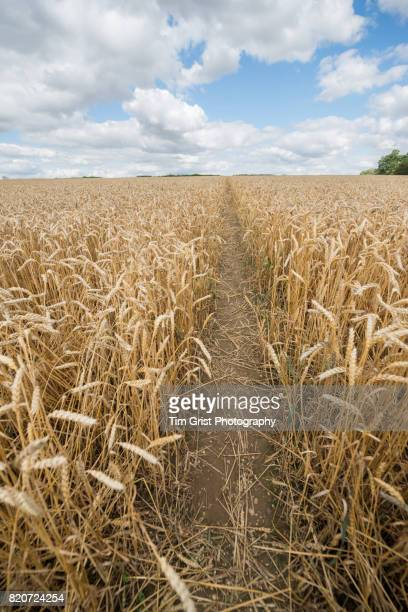 Wheat Growing in an Essex Field