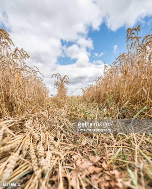 Wheat Growing in an Essex Field