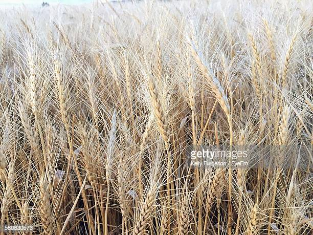 Wheat Growing On Field