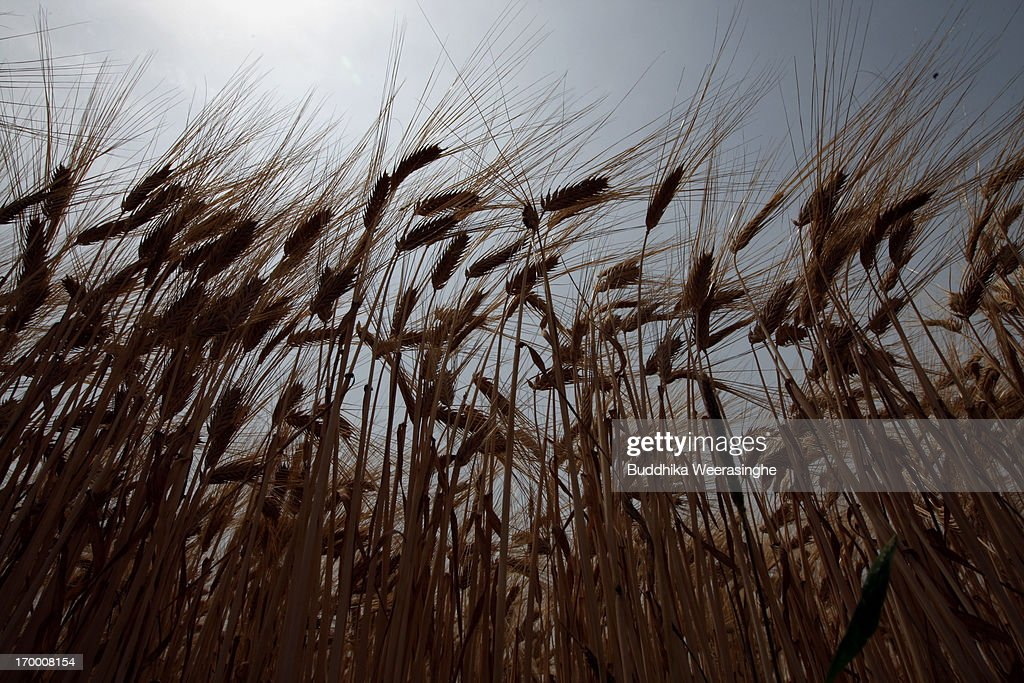 Wheat grows in a field at the start of wheat harvesting season on June 6, 2013 in Okayama, Japan. Japan is the world's sixth-biggest wheat buyer and imports around 800,000 tonnes each year, 60 percent of which is from the US.