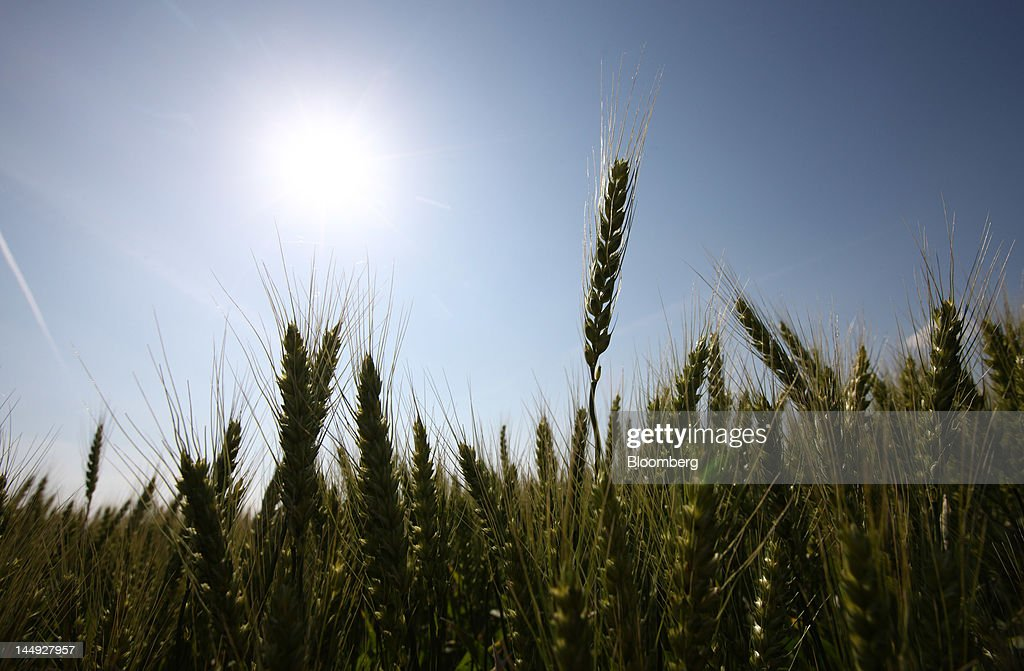 Wheat grows in Katori City, Chiba Prefecture, Japan, on Friday, May 19, 2012. Japan is seeking 158,783 metric tons of milling wheat from the U.S., Canada and Australia in a regular tender on May 17, the largest volume in four months, the Ministry of Agriculture, Forestry and Fisheries said. Photographer: Tomohiro Ohsumi/Bloomberg via Getty Images