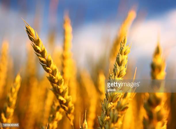 Weizen in einem Feld, Nahaufnahme.