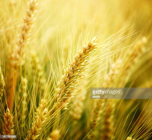 Oat Crop Stock Photos and Pictures | Getty Images