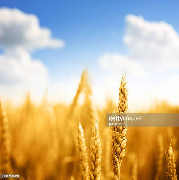 Wheat in a field,closeup.