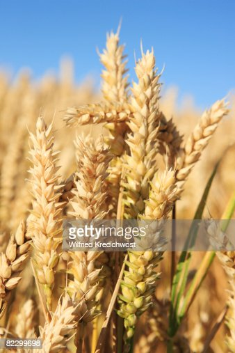 wheat in field, close-up : Stock-Foto