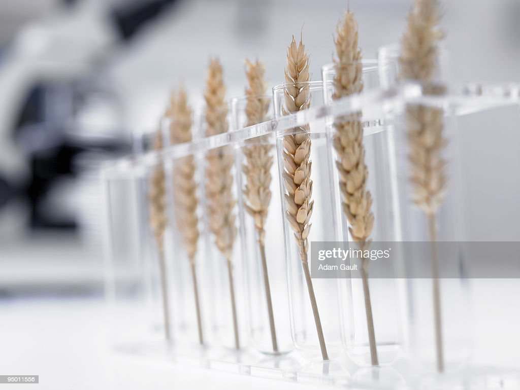 Wheat in test tubes