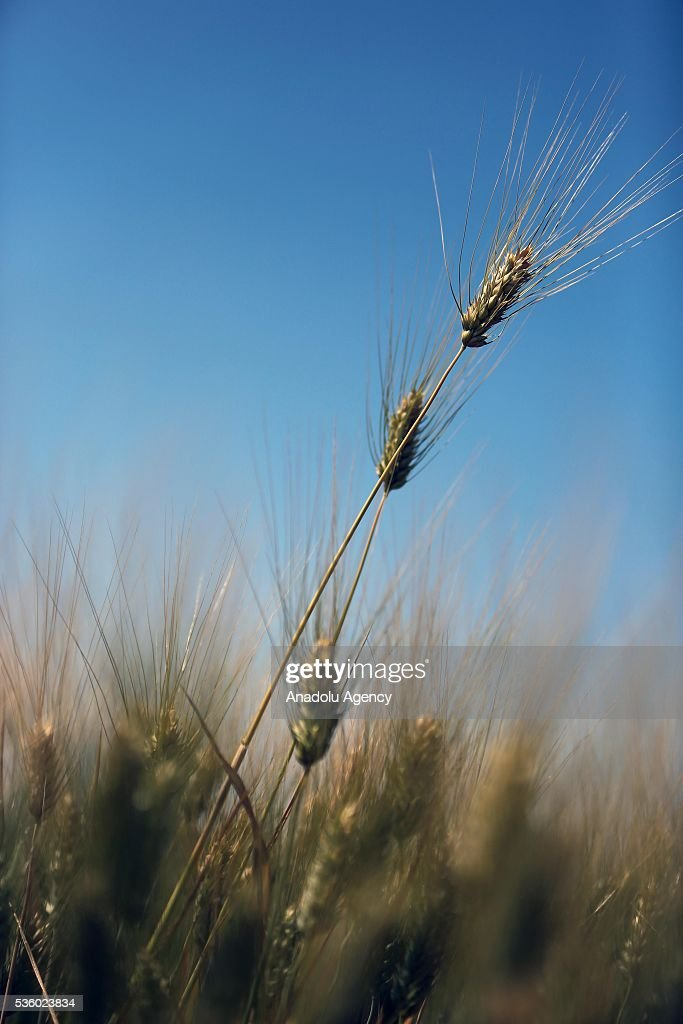Wheat is seen as Syrians farmers harvest at Eastern Ghouta in Damascus, Syria on May 31, 2016.