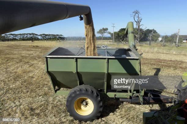 Wheat kernels fall into a hopper from a header machine at a farm near Drysdale Australia on Wednesday Feb 15 2017 Wheat shipments from Australia may...