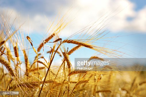 Wheat on blue sky : Stock Photo
