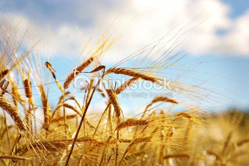 Wheat on blue sky : Stock Photo