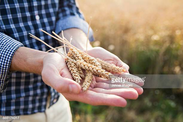 Wheat on mans hands