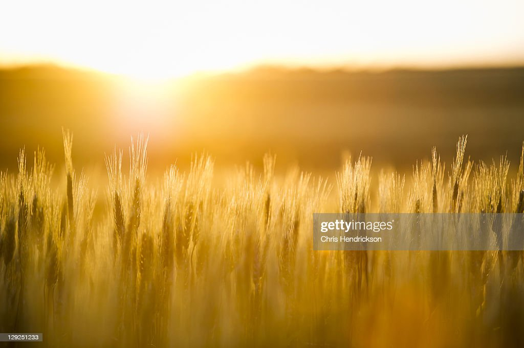 Wheat plants in a wheat field at sunset. : Stock Photo
