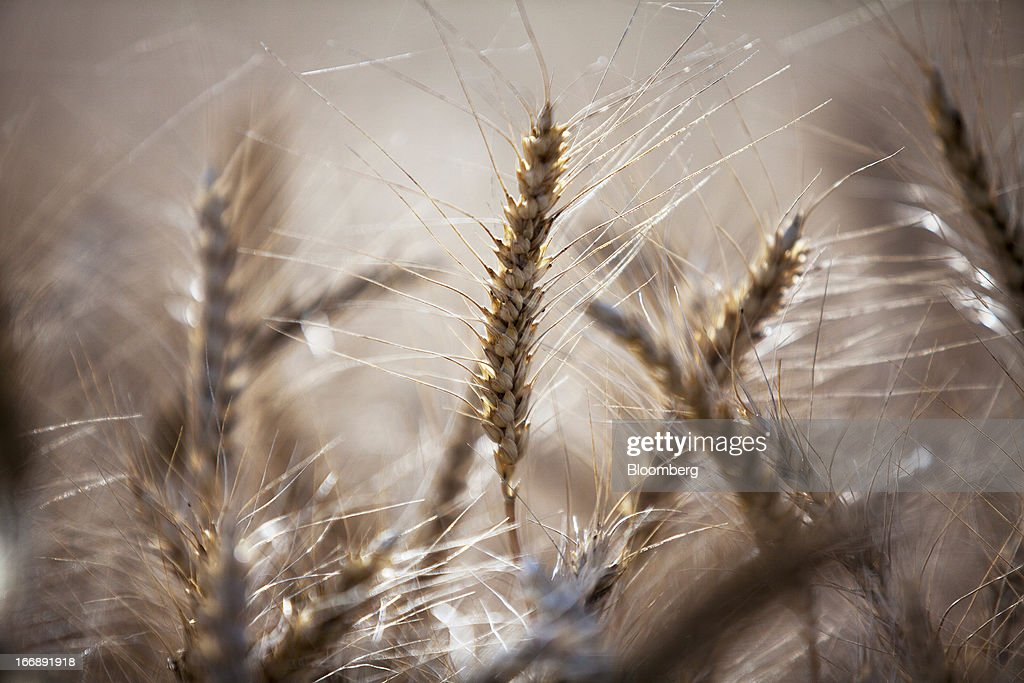 Wheat ready for harvest stands in a field in the district of Jalandhar in Punjab, India, on Monday, April 15, 2013. Wheat harvest in India, the second-biggest grower, may reach a record for a sixth straight year after farmers increased use of high-yielding seeds and winter rains boosted crop prospects, a state-run researcher said. Photographer: Prashanth Vishwanathan/Bloomberg via Getty Images