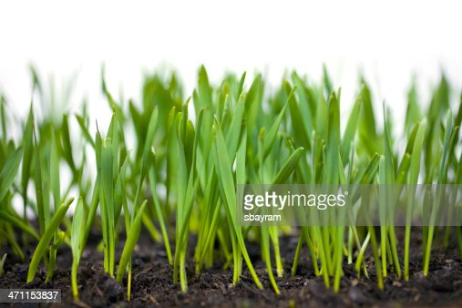 wheat sprouts how to grow
