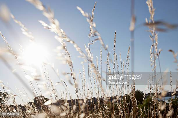 Wheat stalks against blue sky