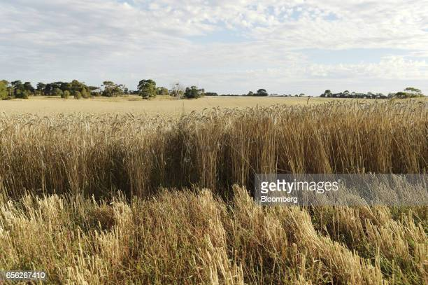 Wheat stalks stand at a farm near Drysdale Australia on Wednesday Feb 15 2017 Wheat shipments from Australia may decline about 8 percent as...