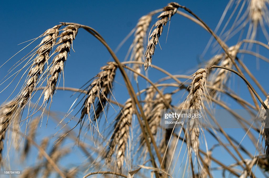 Wheat stands in a field during harvest near Salto, Argentina, on Monday, Dec. 24, 2012. Argentina, South America's largest wheat producer, will have a current crop as low as 9 million tons because of excess rain, heat and plant diseases, a board director of wheat producers association Aaprotrigo said. Photographer: Diego Giudice/Bloomberg via Getty Images